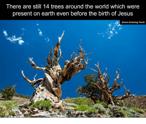 Memes, Tree, and Trees: There are still 14 trees around the world which were  present on earth even before the birth of Jesus  Some Amazing Facts