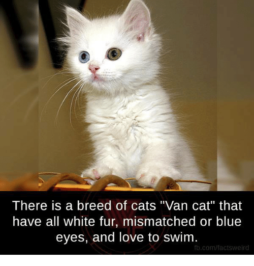 """Memes, Vans, and Swimming: There is a breed of cats """"Van Cat"""" that  have all white fur, mismatched or blue  eyes, and love to swim.  fb.com/factsweird"""