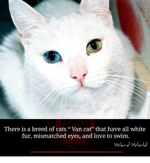 """Memes, Weird, and Vans: There is a breed of cats Van cat"""" that have all white  fur, mismatched eyes, and love to swim.  Weird World"""
