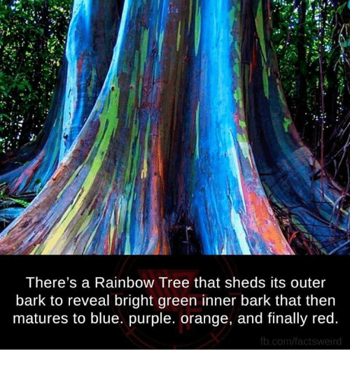 fb.com: There's a Rainbow Tree that sheds its outer  bark to reveal bright green inner bark that then  matures to blue. purple. orange, and finally red.  fb.com/ facts weird