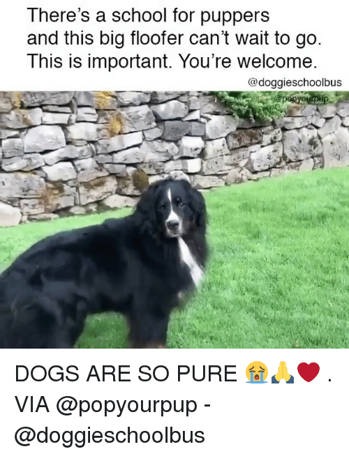 Importanter: There's a school for puppers  and this big floofer can't wait to go  This is important. You're welcome  @doggieschoolbus DOGS ARE SO PURE 😭🙏❤️ . VIA @popyourpup - @doggieschoolbus