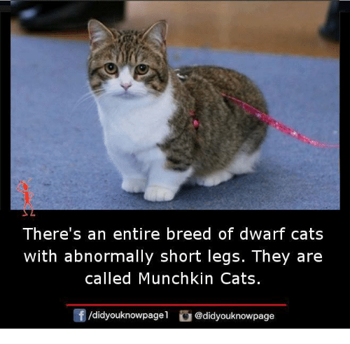 Memes, 🤖, and Munchkin: There's an entire breed of dWart Cats  with abnormally short legs. They are  called Munchkin Cats.  /didyouknowpagel  @didyouknowpage