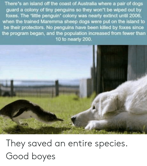 Colony: There's an island off the coast of Australia where a pair of dogs  guard a colony of tiny penguins so they won't be wiped out by  foxes. The little penguin' colony was nearly extinct until 2006  when the trained Maremma sheep dogs were put on the island to  be their protectors. No penguins have been killed by foxes since  the program began, and the population increased from fewer than  10 to nearly 200 They saved an entire species. Good boyes