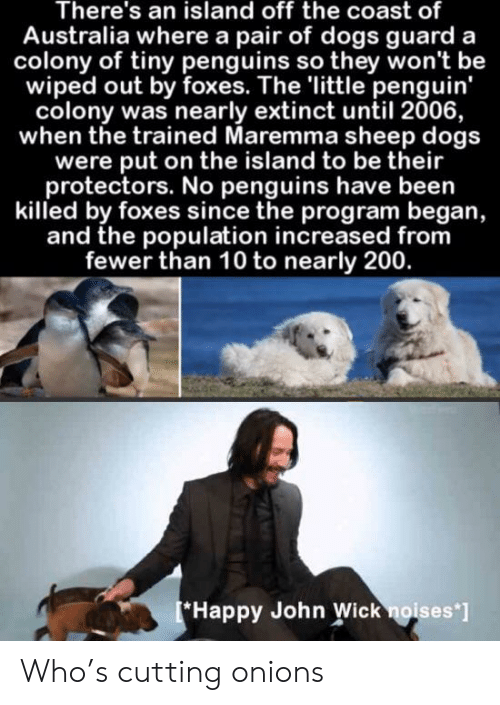 Colony: There's an island off the coast of  Australia where a pair of dogs guard a  colony of tiny penguins so they won't be  wiped out by foxes. The 'little penguin'  colony was nearly extinct until 2006,  when the trained Maremma sheep dogs  were put on the island to be their  protectors. No penguins have been  killed by foxes since the program began,  and the population increased from  fewer than 10 to nearly 200.  Happy John Wick noises'] Who's cutting onions