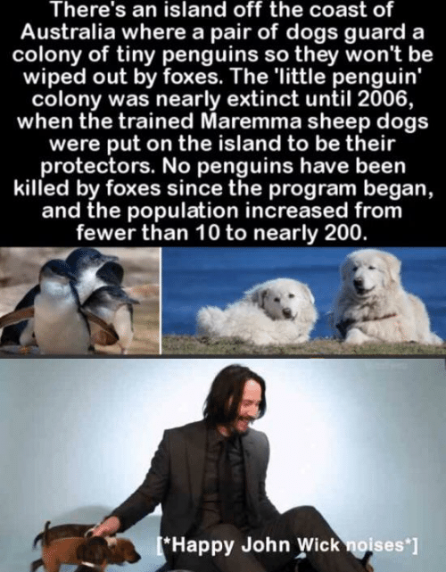 Colony: There's an island off the coast of  Australia where a pair of dogs guard  colony of tiny penguins so they won't be  wiped out by foxes. The 'little penguin'  colony was nearly extinct until 2006,  when the trained Maremma sheep dogs  were put on the island to be their  protectors. No penguins have been  killed by foxes since the program began,  and the population increased from  fewer than 10 to nearly 200.  [*Happy John Wick noises ]