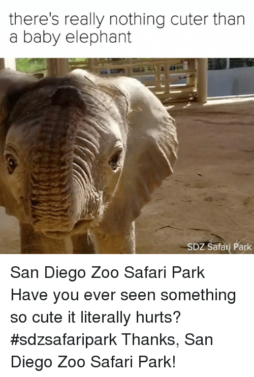 Baby Elephant: there's really nothing cuter than  a baby elephant  SDZ Safari Park San Diego Zoo Safari Park  Have you ever seen something so cute it literally hurts? #sdzsafaripark  Thanks, San Diego Zoo Safari Park!