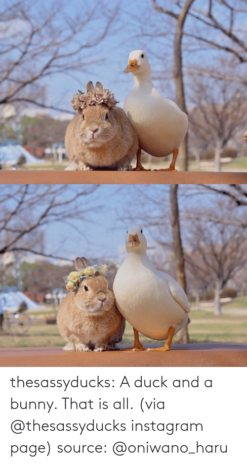 Duck: thesassyducks: A duck and a bunny. That is all. (via @thesassyducks instagram page) source: @oniwano_haru