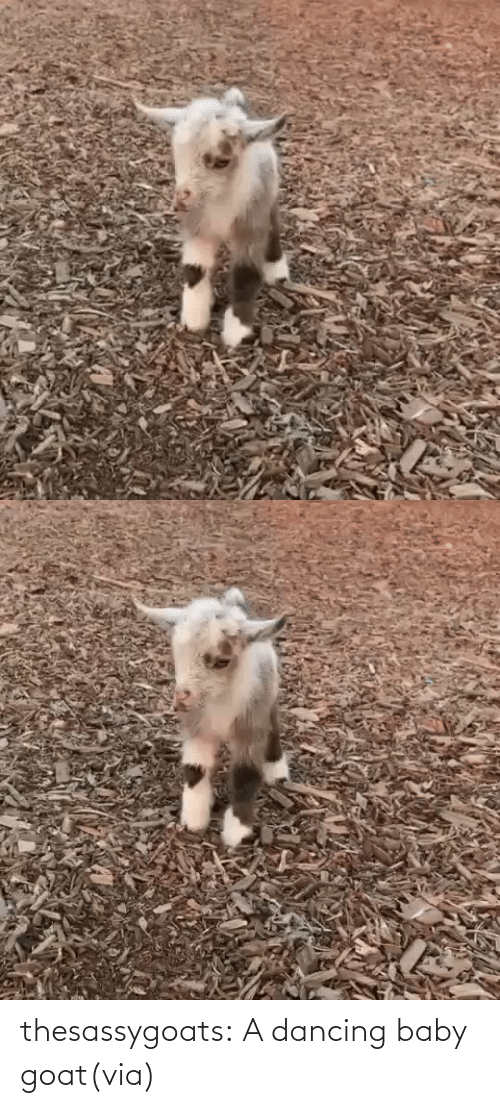 Baby Goat: thesassygoats:  A dancing baby goat(via)