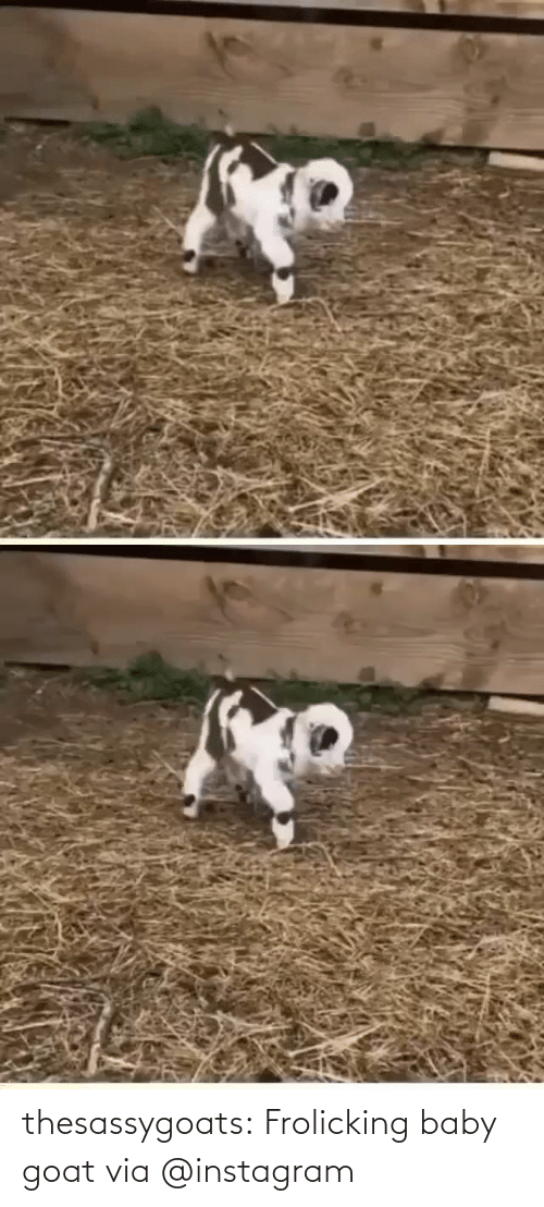 Baby Goat: thesassygoats: Frolicking baby goat via @instagram