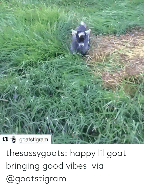 Good Vibes: thesassygoats: happy lil goat bringing good vibes  via @goatstigram