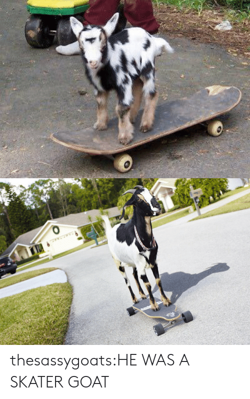 Skater: thesassygoats:HE WAS A SKATER GOAT
