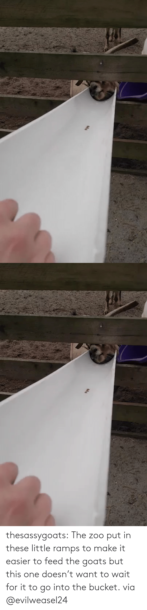 zoo: thesassygoats: The zoo put in these little ramps to make it easier to feed the goats but this one doesn't want to wait for it to go into the bucket. via @evilweasel24