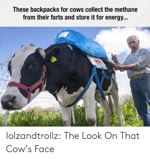 farts: These backpacks for cows collect the methane  from their farts and store it for energy... lolzandtrollz:  The Look On That Cow's Face