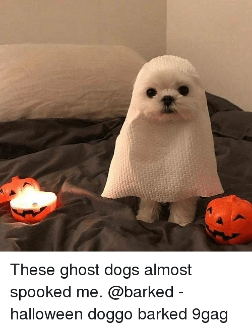 Spooked: These ghost dogs almost spooked me. @barked - halloween doggo barked 9gag