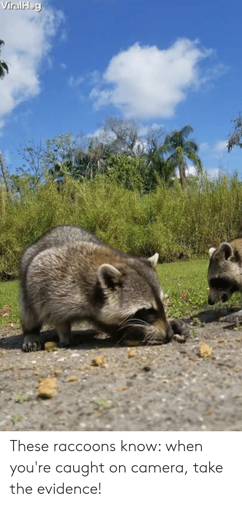 raccoons: These raccoons know: when you're caught on camera, take the evidence!