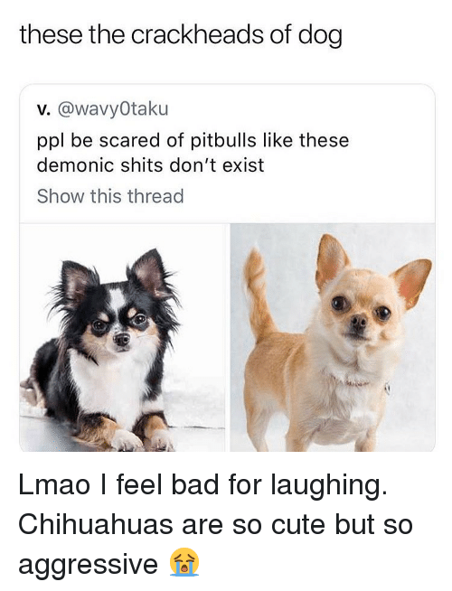 chihuahuas: these the crackheads of dog  v. @wavyOtaku  ppl be scared of pitbulls like these  demonic shits don't exist  Show this thread  ·垂 Lmao I feel bad for laughing. Chihuahuas are so cute but so aggressive 😭