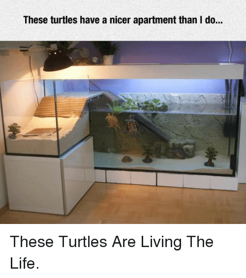 Living The Life: These turtles have a nicer apartment than I do.. <p>These Turtles Are Living The Life.</p>