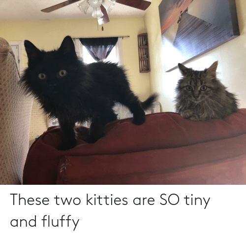 fluffy: These two kitties are SO tiny and fluffy