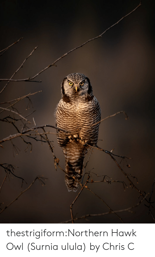 hawk: thestrigiform:Northern Hawk Owl (Surnia ulula) by Chris C