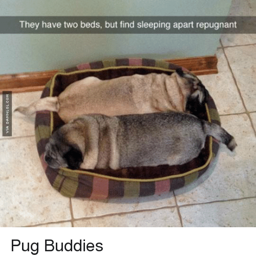 Funny Pugs Memes Of 2016 On Sizzle Cars