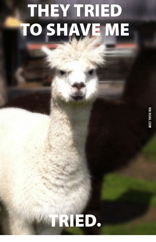 i honked at the car in front of me and this angry alpaca