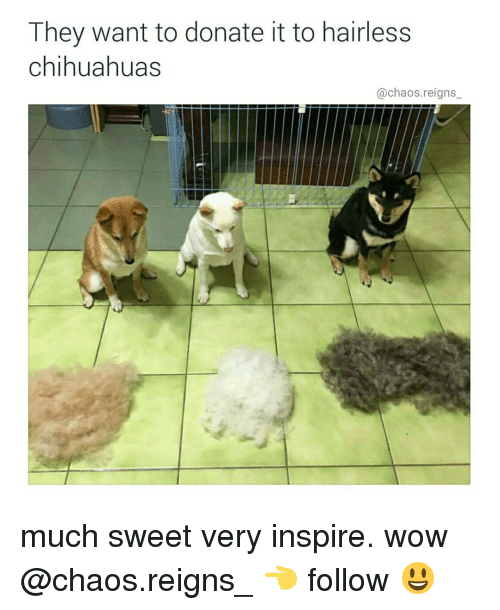 Chihuahua, Memes, and 🤖: They want to donate it to hairless  Chihuahuas  @chaos reigns much sweet very inspire. wow @chaos.reigns_ 👈 follow 😃
