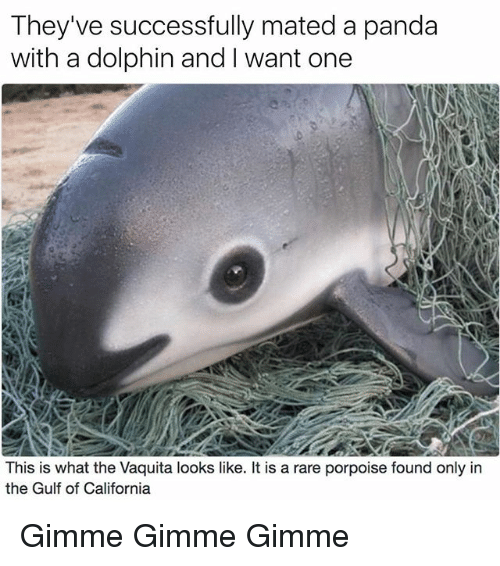 Funny, Panda, and California: They've successfully mated a panda  with a dolphin and want one  This is what the Vaquita looks like. It is a rare porpoise found only in  the Gulf of California Gimme Gimme Gimme