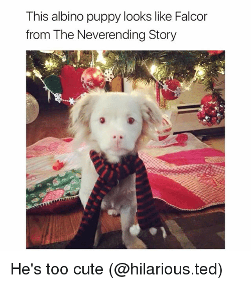 neverending: This albino puppy looks like Falcor  from The Neverending Story He's too cute (@hilarious.ted)