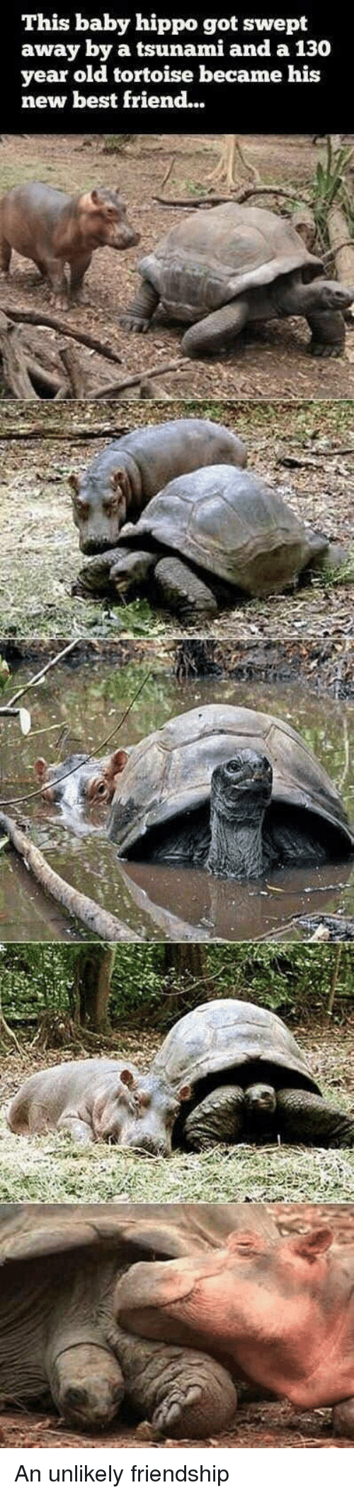 Baby Hippo: This baby hippo got swept  away by a tsunami and a 130  year old tortoise became his  new best friend... <p>An unlikely friendship</p>