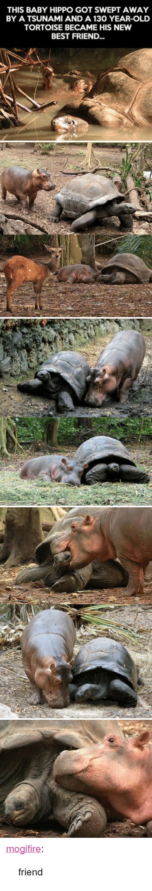 """Baby Hippo: THIS BABY HIPPO GOT SWEPT AWAY  BY A TSUNAMI AND A 130 YEAR-OLD  TORTOISE BECAME HIS NEW  BEST FRIEND... <p><a href=""""http://mogifire.tumblr.com/post/157412233739/friend"""" class=""""tumblr_blog"""">mogifire</a>:</p><blockquote><p>friend<br/></p></blockquote>"""