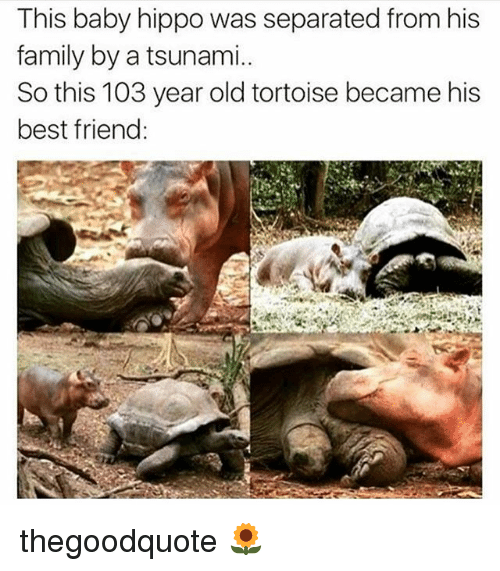 Baby Hippo: This baby hippo was separated from his  family by a tsunami.  So this 103 year old tortoise became his  best friend thegoodquote 🌻