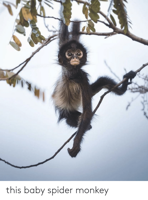 spider monkey: this baby spider monkey