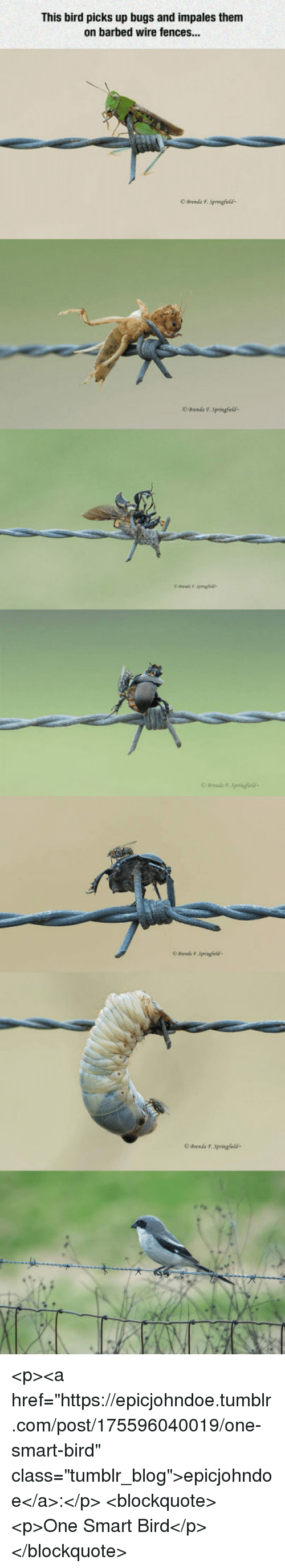 """Fences: This bird picks up bugs and impales them  on barbed wire fences...  OBrenda F. Springfcld  O Brends T Springfields <p><a href=""""https://epicjohndoe.tumblr.com/post/175596040019/one-smart-bird"""" class=""""tumblr_blog"""">epicjohndoe</a>:</p>  <blockquote><p>One Smart Bird</p></blockquote>"""