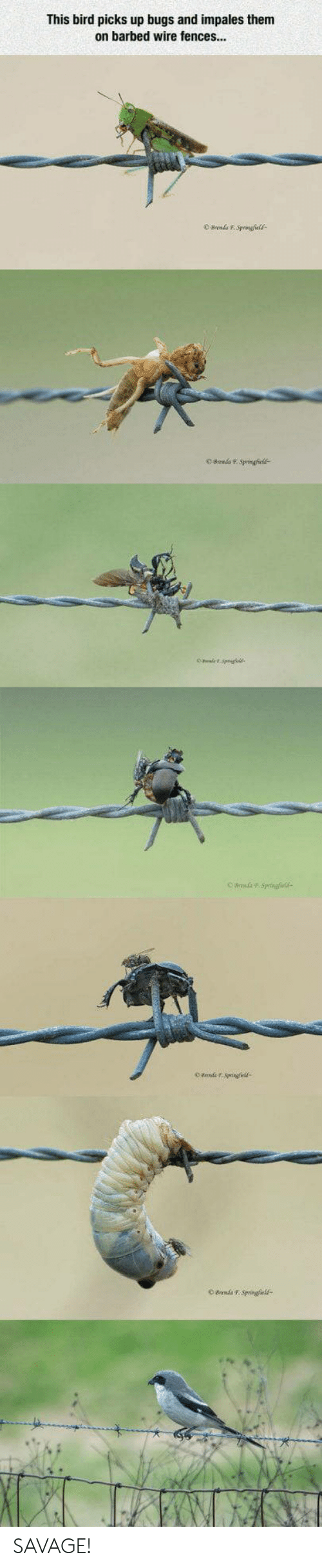 Fences: This bird picks up bugs and impales them  on barbed wire fences...  Bn FSvringfield SAVAGE!