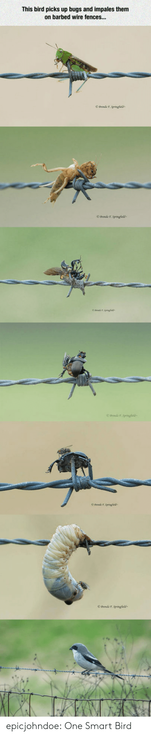 Fences: This bird picks up bugs and impales them  on barbed wire fences...  OBrenda F. Springfcld  O Brends T Springfields epicjohndoe:  One Smart Bird
