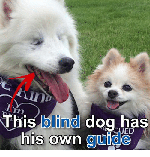 This Blind Dog Has His Own Guide Dank Meme On Sizzle