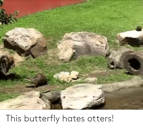 Otters: This butterfly hates otters!