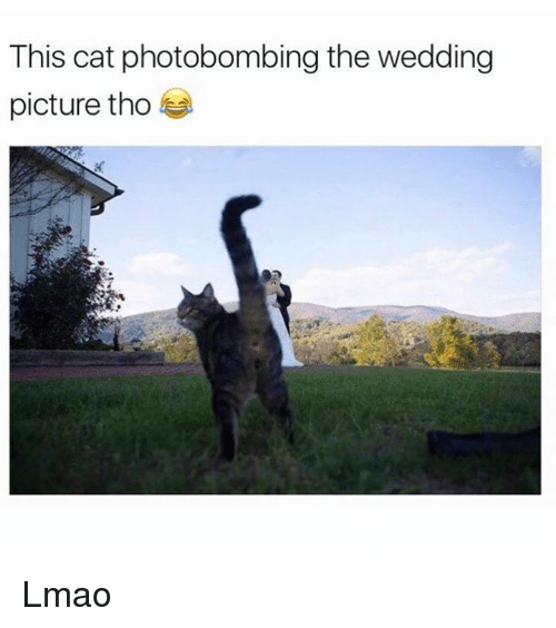 Cats, Lmao, and Memes: This cat photobombing the wedding  picture tho Lmao