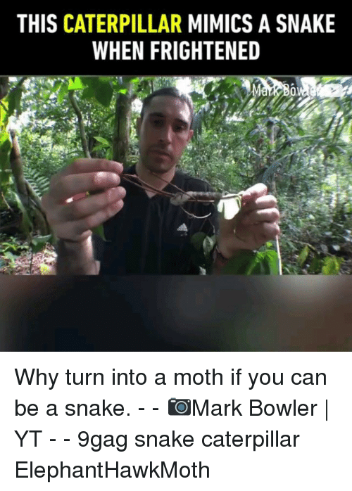 9gag, Memes, and Snake: THIS CATERPILLAR MIMICS A SNAKE  WHEN FRIGHTENED Why turn into a moth if you can be a snake. - - 📷Mark Bowler | YT - - 9gag snake caterpillar ElephantHawkMoth