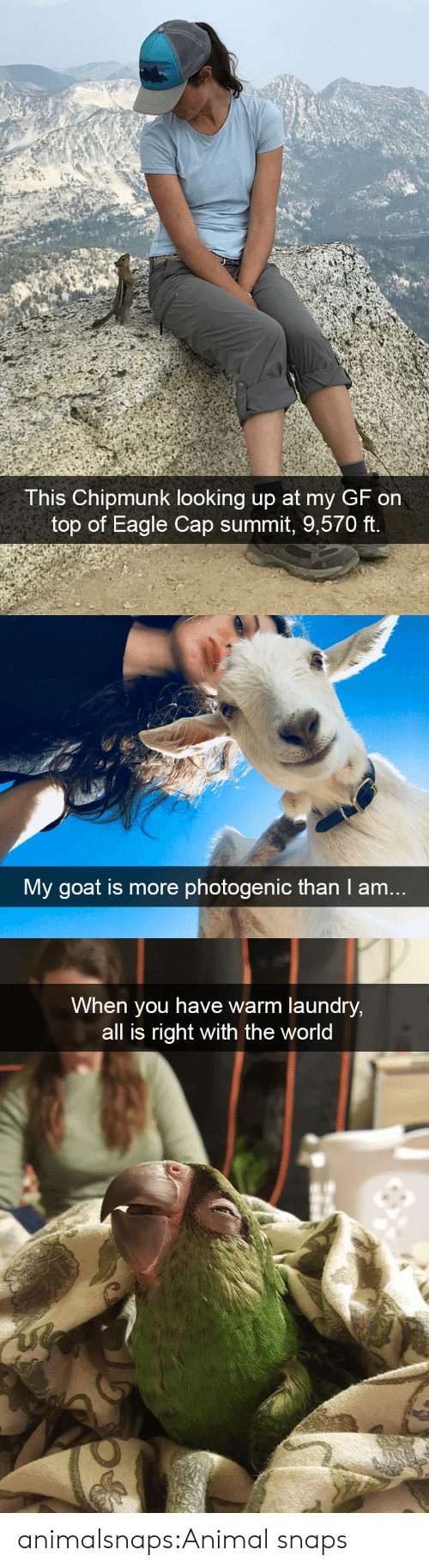 chipmunk: This Chipmunk looking up at my GF on  top of Eagle Cap summit, 9,570 ft.   My goat is more photogenic than I am..   When you have warm laundry,  all is right with the world animalsnaps:Animal snaps