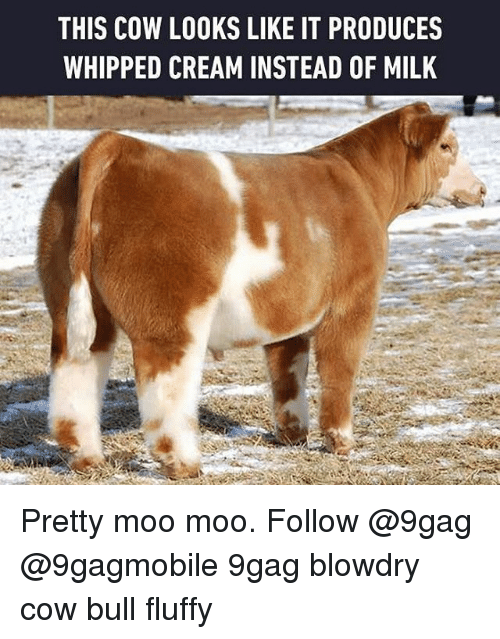 whip: THIS COW LOOKS LIKE IT PRODUCES  WHIPPED CREAM INSTEAD OF MILK Pretty moo moo. Follow @9gag @9gagmobile 9gag blowdry cow bull fluffy