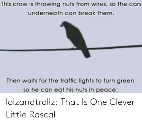 the cars: This crow is throwing nuts from wires, so the cars  underneath can break them.  Then waits for the traffic lights to turn green  so he can eat his nuts in peace lolzandtrollz:  That Is One Clever Little Rascal