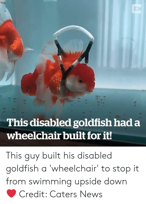 Disabled: This disabled goldfish had a  wheelchair built for it! This guy built his disabled goldfish a 'wheelchair' to stop it from swimming upside down ❤️️  Credit: Caters News