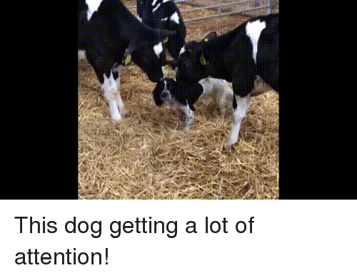 Baby Cow: This dog getting a lot of attention!