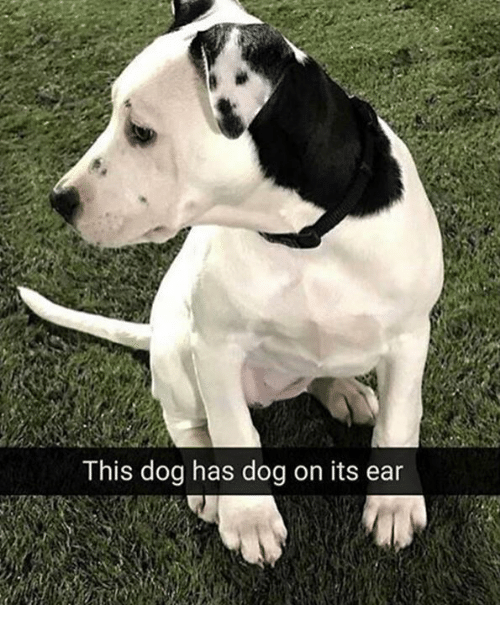 earings: This dog has dog on its ear
