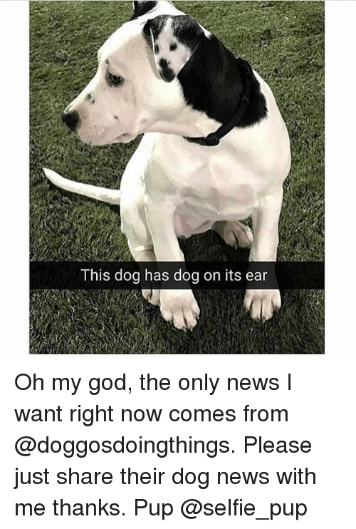 earing: This dog has dog on its ear Oh my god, the only news I want right now comes from @doggosdoingthings. Please just share their dog news with me thanks. Pup @selfie_pup