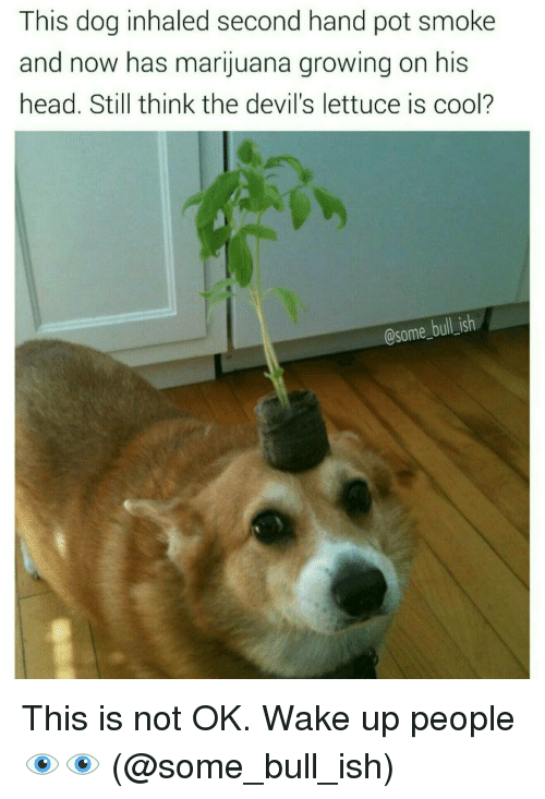 The Devils Lettuce: This dog inhaled second hand pot smoke  and now has marijuana growing on his  head. Still think the devil's lettuce is cool?  @some bull ish This is not OK. Wake up people 👁👁 (@some_bull_ish)