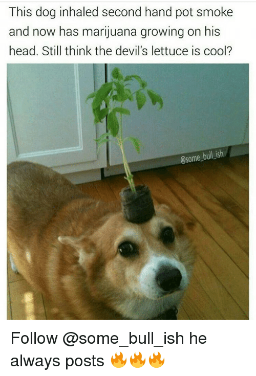 Memes, 🤖, and Lettuce: This dog inhaled second hand pot smoke  and now has marijuana growing on his  head. Still think the devil's lettuce is cool?  Osome bullish Follow @some_bull_ish he always posts 🔥🔥🔥