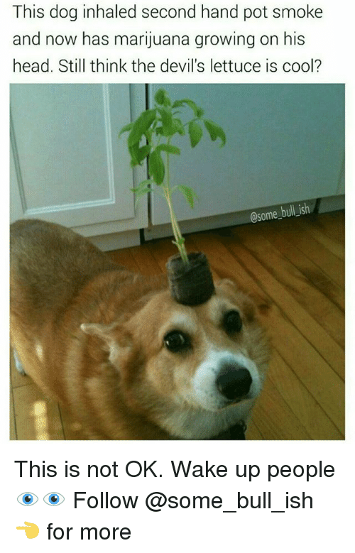 Head, Memes, and Cool: This dog inhaled second hand pot smoke  and now has marijuana growing on his  head. Still think the devil's lettuce is cool?  Csome bull ish This is not OK. Wake up people 👁️👁️ Follow @some_bull_ish 👈 for more