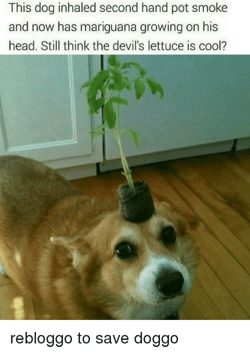The Devils Lettuce: This dog inhaled second hand pot smoke  and now has mariguana growing on his  head. Still think the devil's lettuce is cool? <p>rebloggo to save doggo</p>